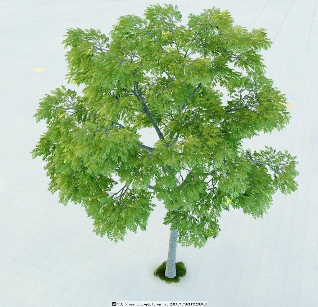黑核桃木 核桃树 植物 景观植物 盆栽 景观模型 园林植物 室内模型