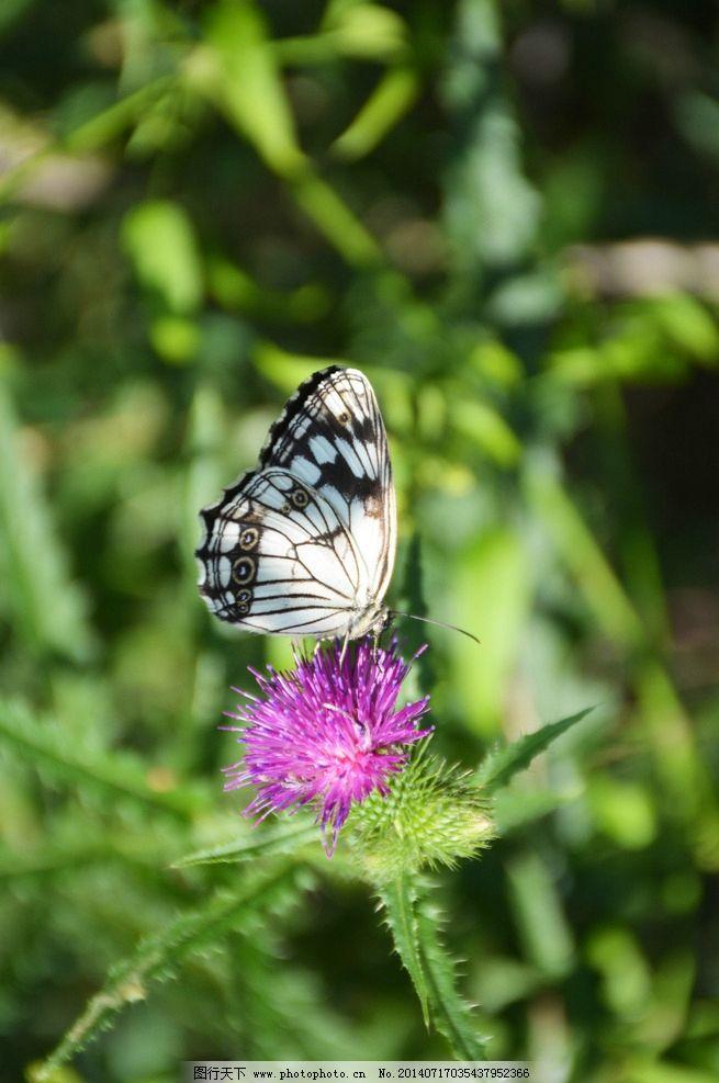 蝴蝶 自然 动物 摄影 风景 昆虫 生物世界 300dpi jpg