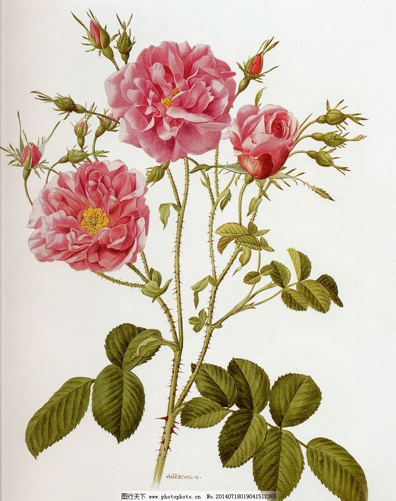 牡丹水彩花画法步骤图画
