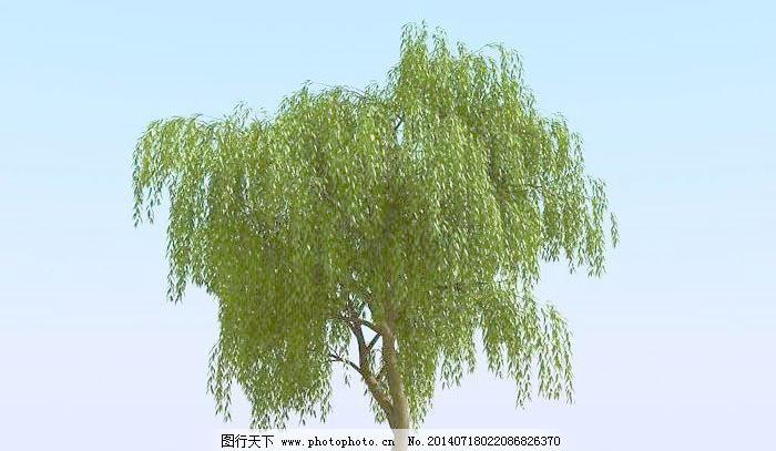杨柳树 植物模型