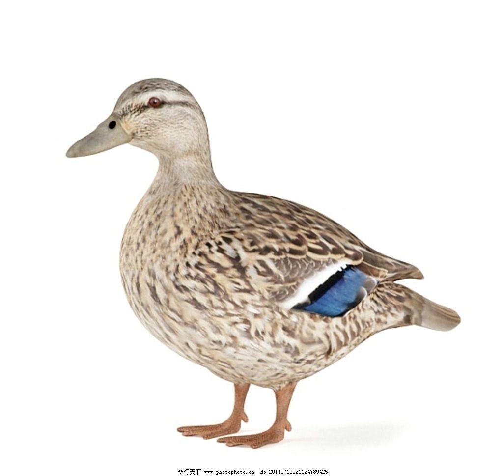 动物 家禽 vray模型 动物模型 高品质模型 室内模型 3d设计 设计 72