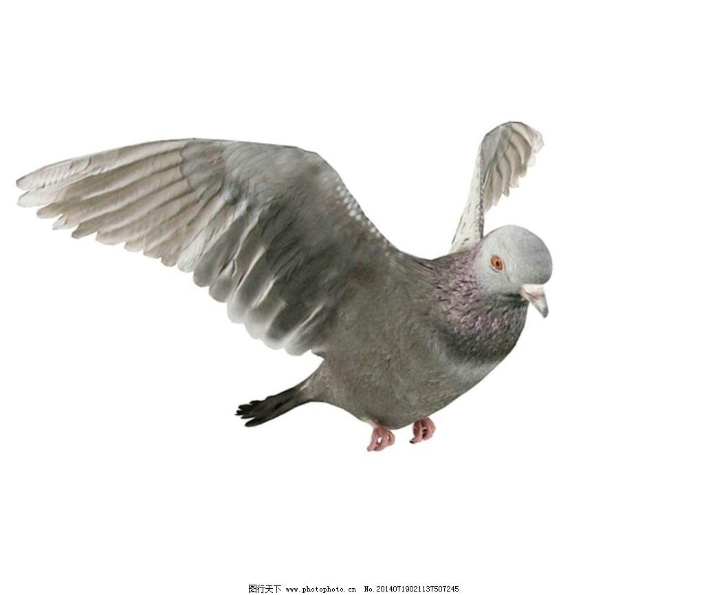 动物 鸽子 vray模型 动物模型 高品质模型 室内模型 3d设计 设计 72dp