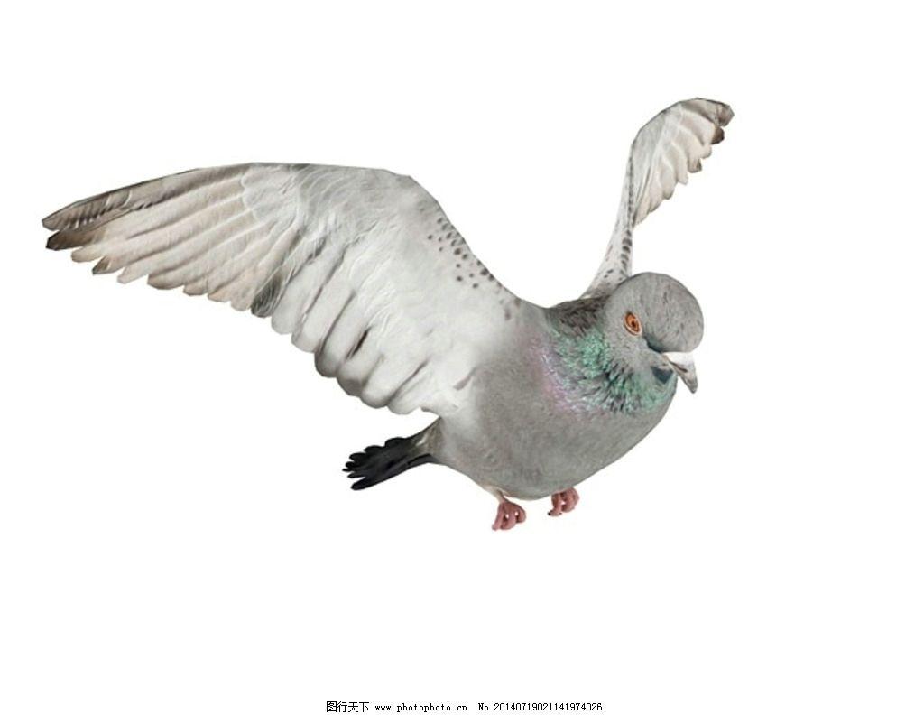 动物 鸽子图片