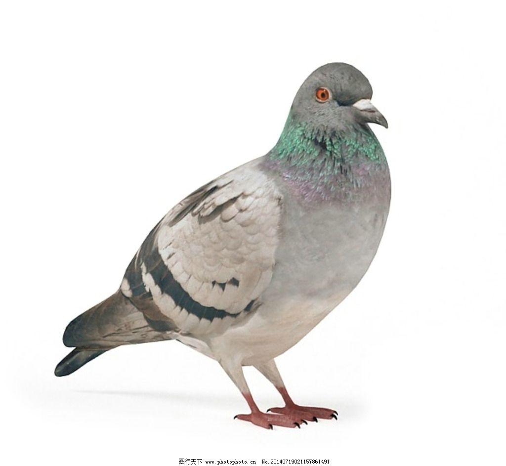动物 鸽子 vray模型 动物模型 高品质模型 室内模型 3d设计 设计 150