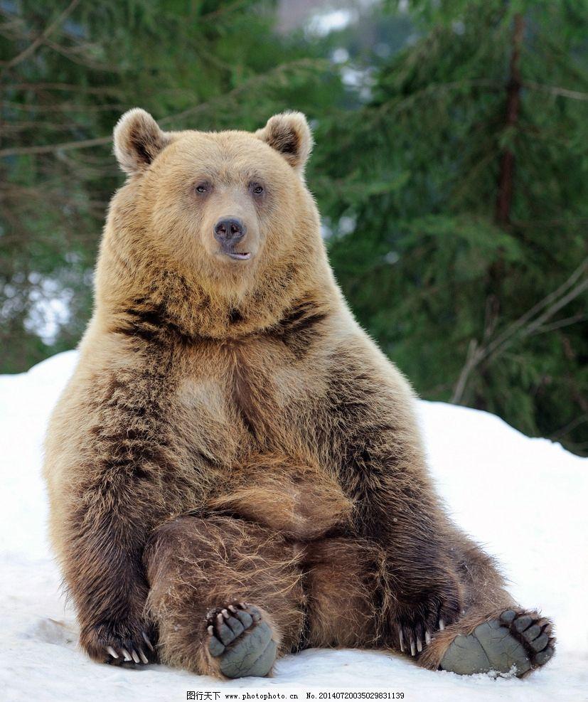 棕熊 狗熊 野兽 脯乳动物 保护动物 野生动物 生物世界 摄影 300dpi