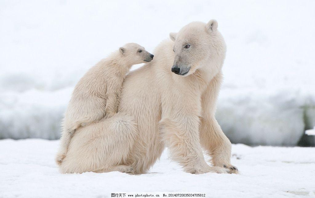 北极熊 狗熊 野兽 脯乳动物 保护动物 摄影