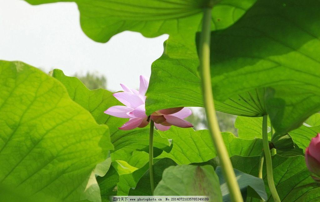荷花 荷叶 藏娇 绿色 透视 花草 生物世界 摄影 72dpi jpg