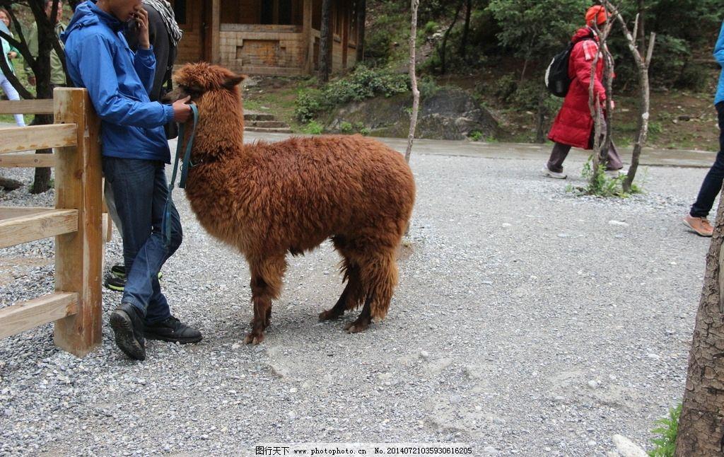 云南景观 羊驼 草泥马 动物 地面 云南 家禽家畜 生物世界 摄影 72dpi