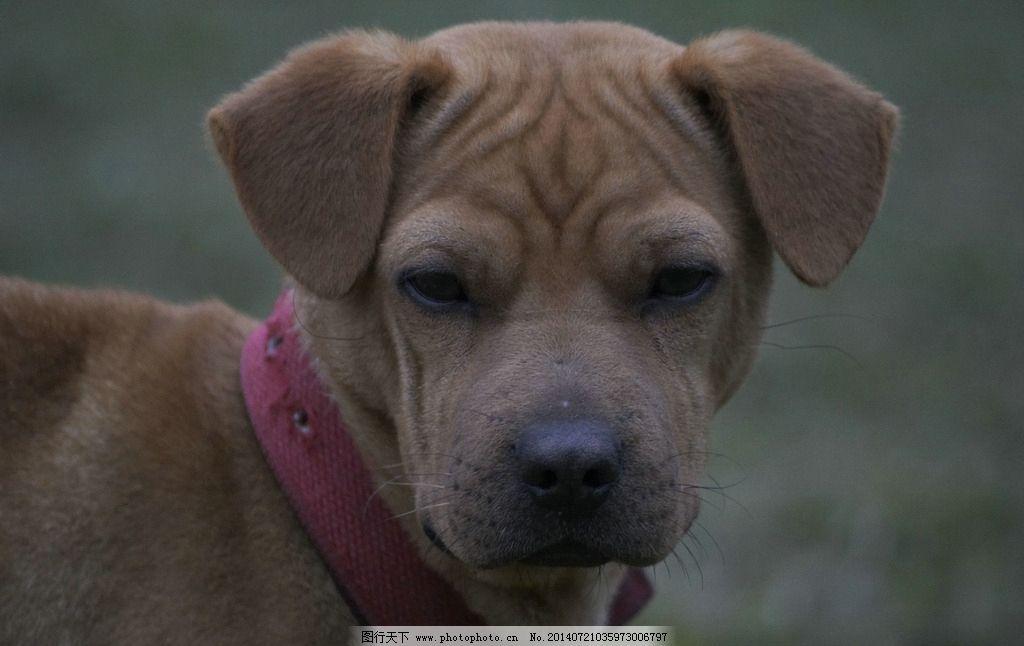 小狗 咖啡色狗 可爱 特写 安静 家禽家畜 生物世界 摄影 300dpi jpg