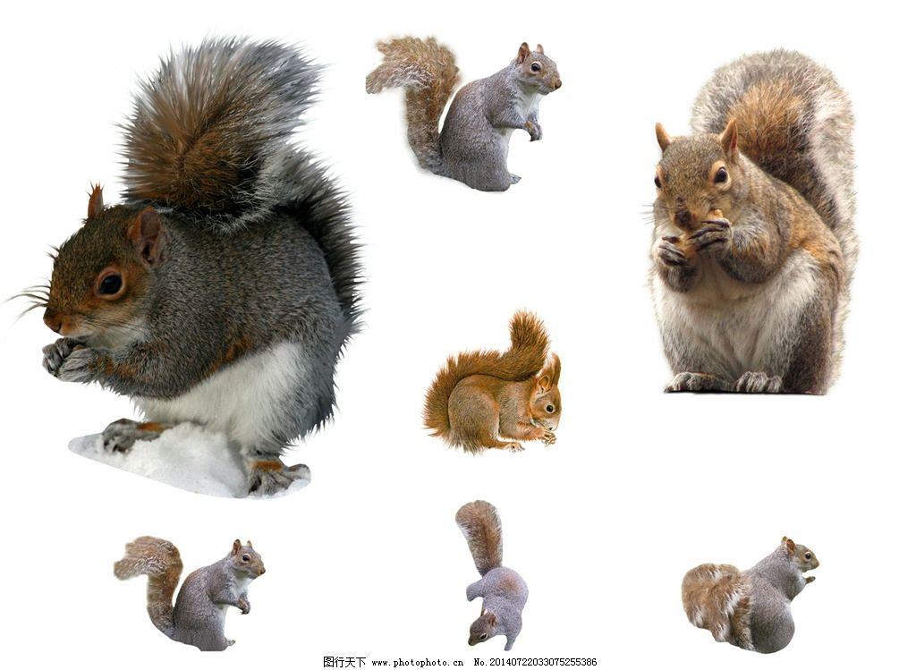 松鼠 psd分层素材 松鼠素材 动物素材 可爱松鼠 小松鼠 松鼠图片 松鼠