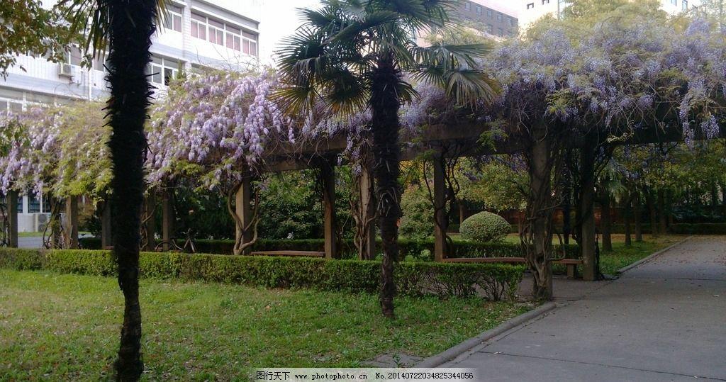 校园小道的紫藤花图片