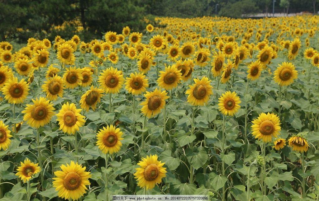 向日葵 自然景观 美丽北京