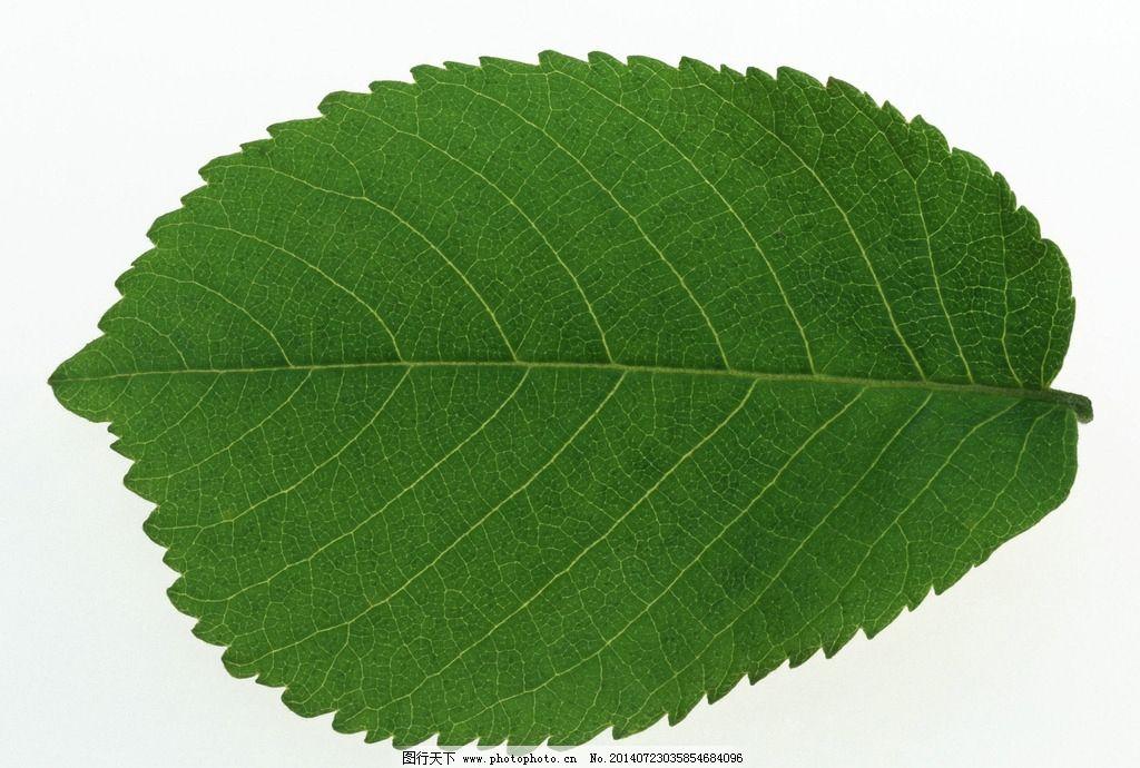 叶子 绿叶 树叶 嫩叶 植物