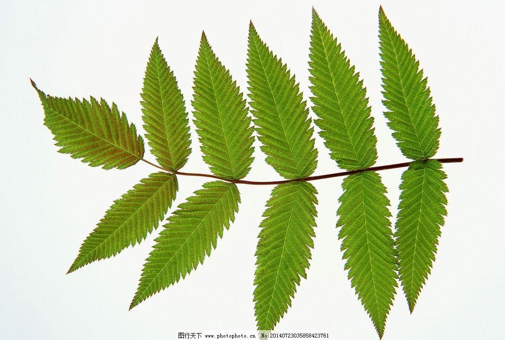叶子 绿叶 树叶 嫩叶 植物 叶茎 绿植 树木树叶 生物世界 摄影 350dpi