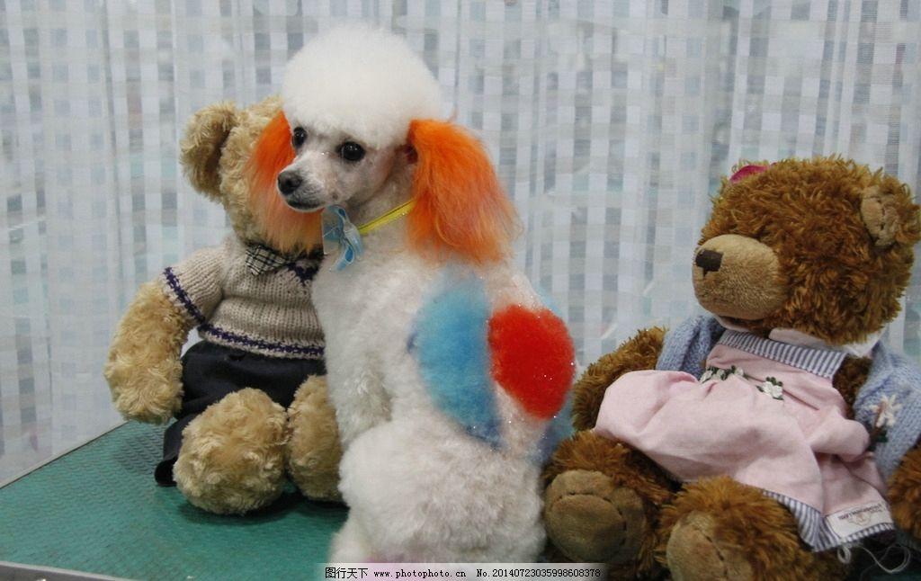 贵宾犬 美容/贵宾犬美容图片