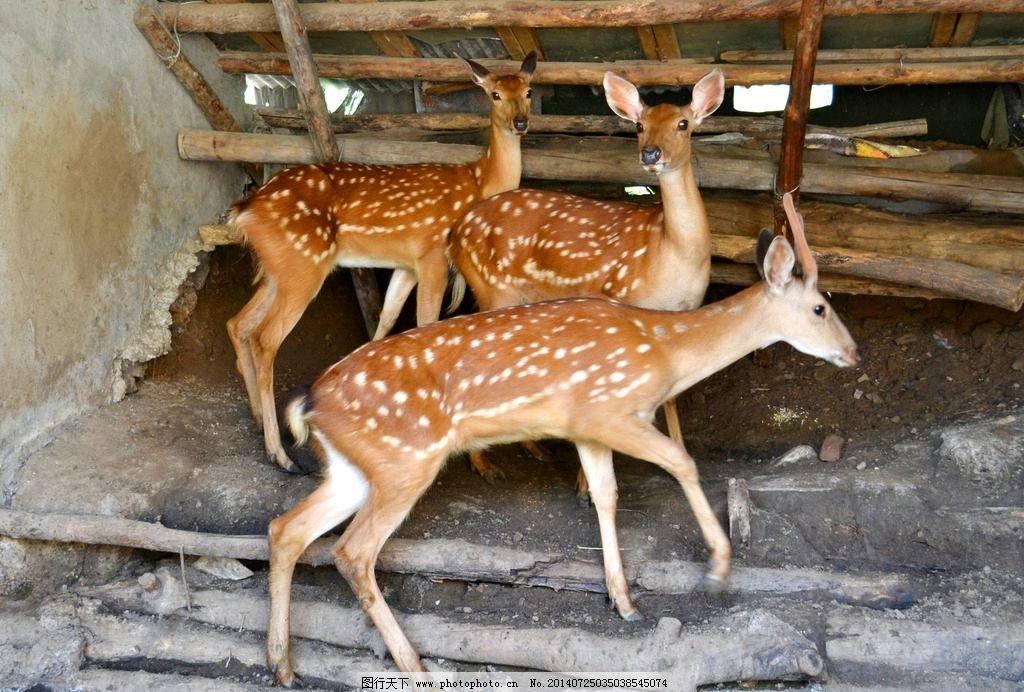 梅花鹿 华苑山庄 风光 物业 鹿科 华苑美食 野生动物 生物世界 摄影