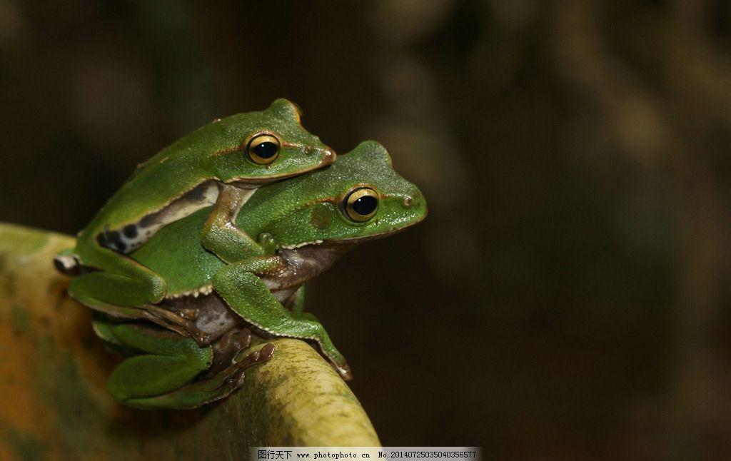 青蛙 大眼珠 青蛙图片 大肚皮 生物世界 摄影 野生动物 300dpi jpg