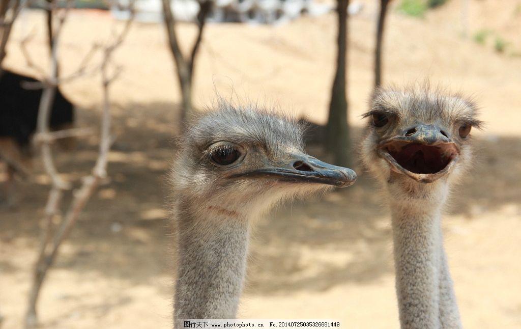 鸵鸟摄影 鸵鸟 驼鸟头 驼鸟嘴 动物 摄影 大自然 鸵鸟对话 鸟类 生物