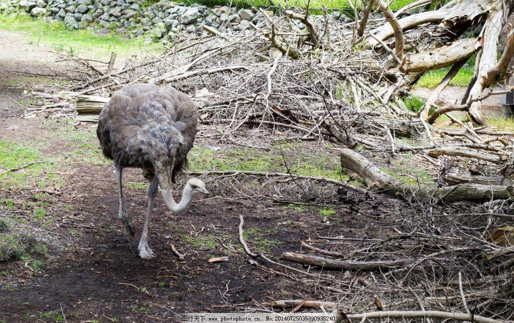 鸵鸟 旧金山 动物园 动物 旅游 国外旅游 美国旅游 鸟类 生物世界