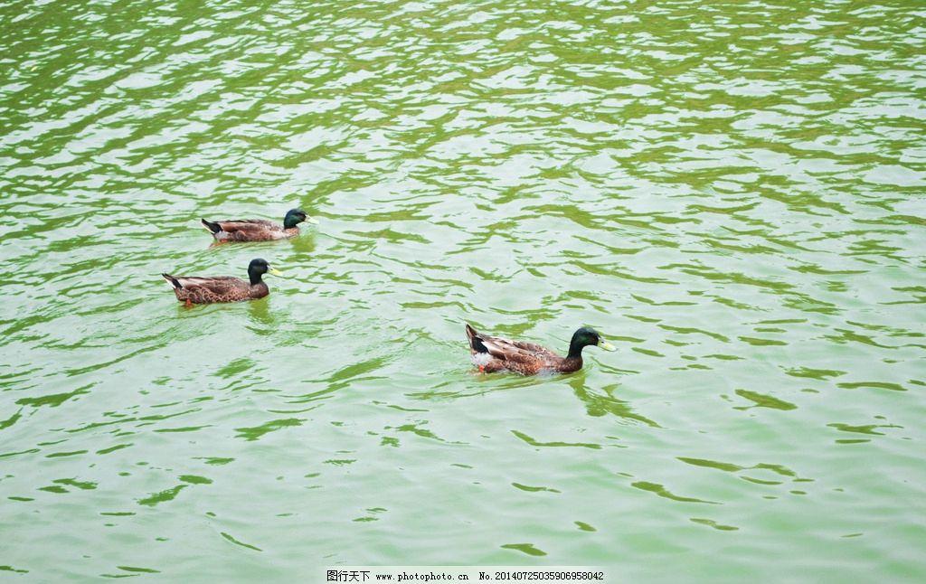 动物 鸭子图片