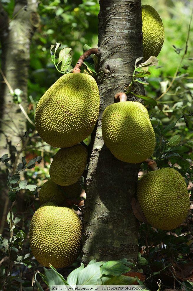 长满菠萝蜜的果树 菠萝蜜 波罗蜜 苞萝 木菠萝 树菠萝 大树菠萝 蜜