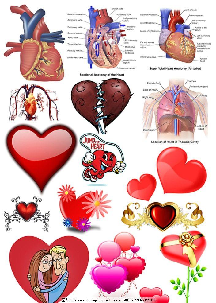 心脏素材 红心素材 爱心素材 卡通爱心 医学心脏图 心脏解说图图片