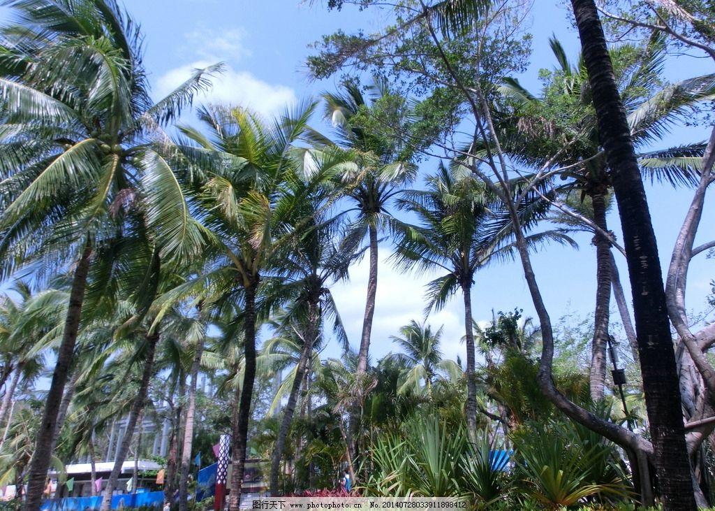 椰子树 芭蕉树 海南 三亚旅游 海南植物 海南旅游 三亚摄影 椰树林
