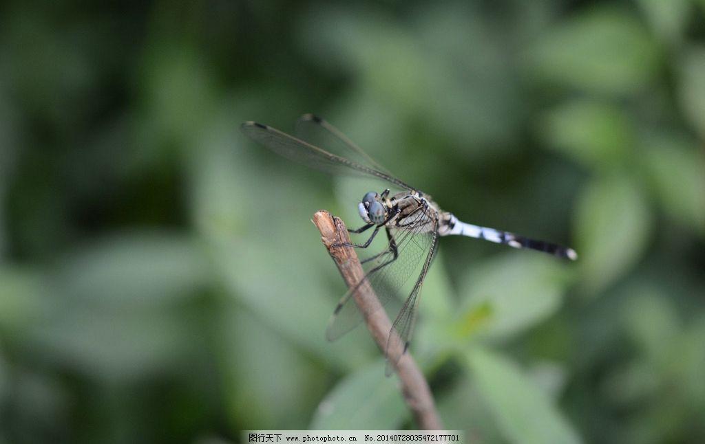 蜻蜓 昆虫 动物 黑白蜻蜓