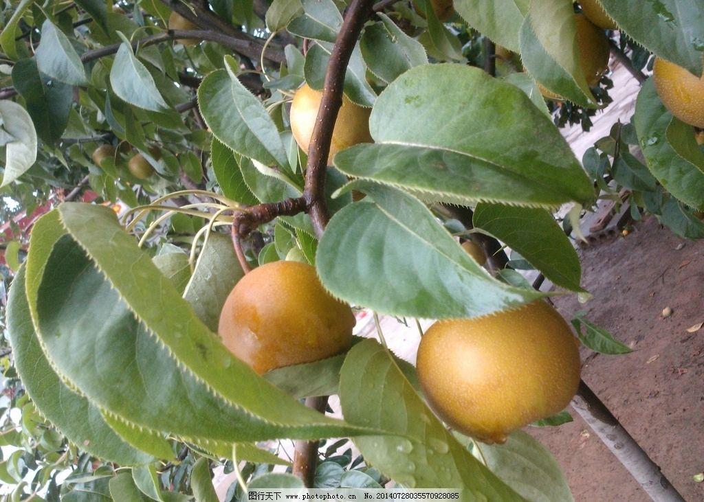 梨子摄影 梨子 大梨 枝头挂梨子 梨树摄影 鲜梨 水果 生物世界 摄影
