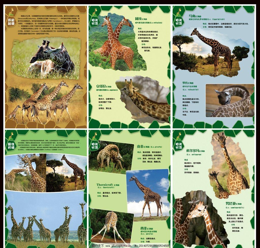 长颈鹿海报 长颈鹿 动物园 海报设计 小长颈鹿 多种类长颈鹿 宣传海报
