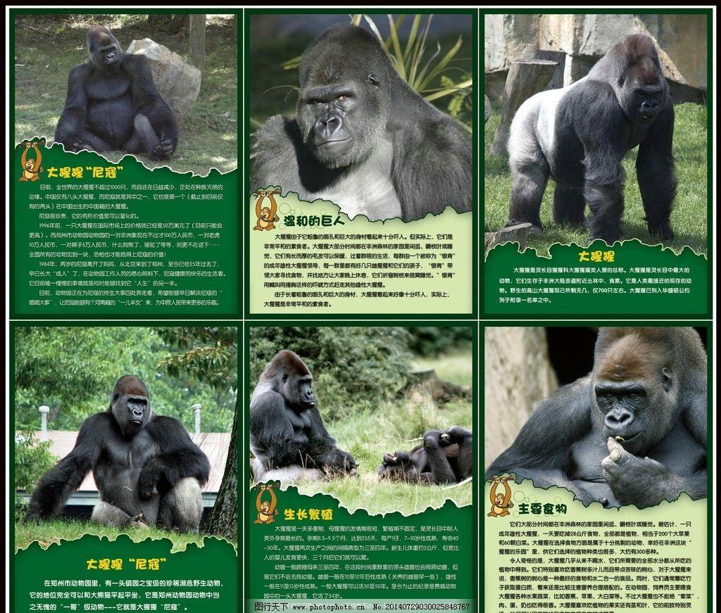 大猩猩 动物世界 非洲动物 哺乳类动物 肯尼亚大猩猩 猩猩 黑猩猩 类