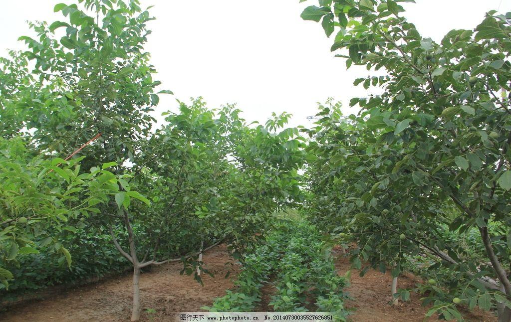 青皮核桃树林图片