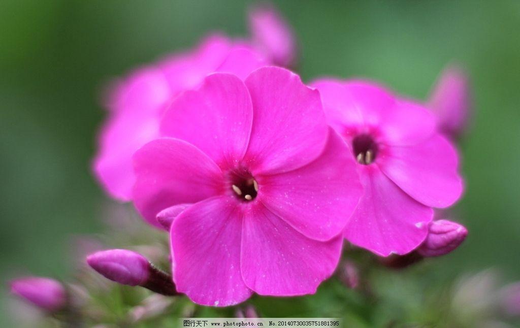 粉色小花 花 花卉 花草 小花 微拍花朵 花朵 摄影花朵 摄影 粉色 粉