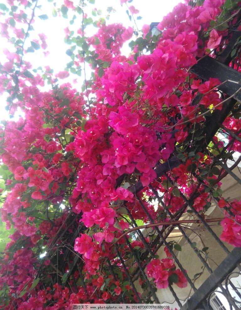 三角梅 花 鲜花 红色 鲜艳的花 花草 生物世界 摄影