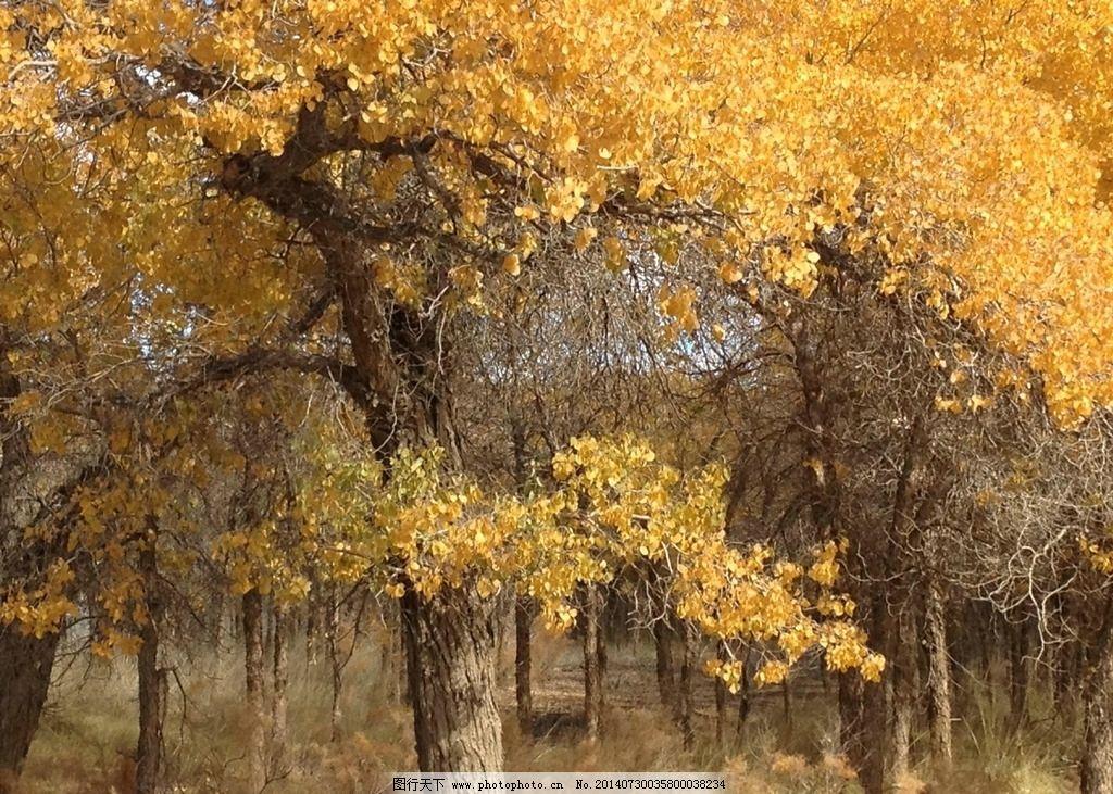 额齐纳旗 蓝天 白云 胡杨林 怪树林 树叶戈壁 内蒙 树木树叶 生物世界