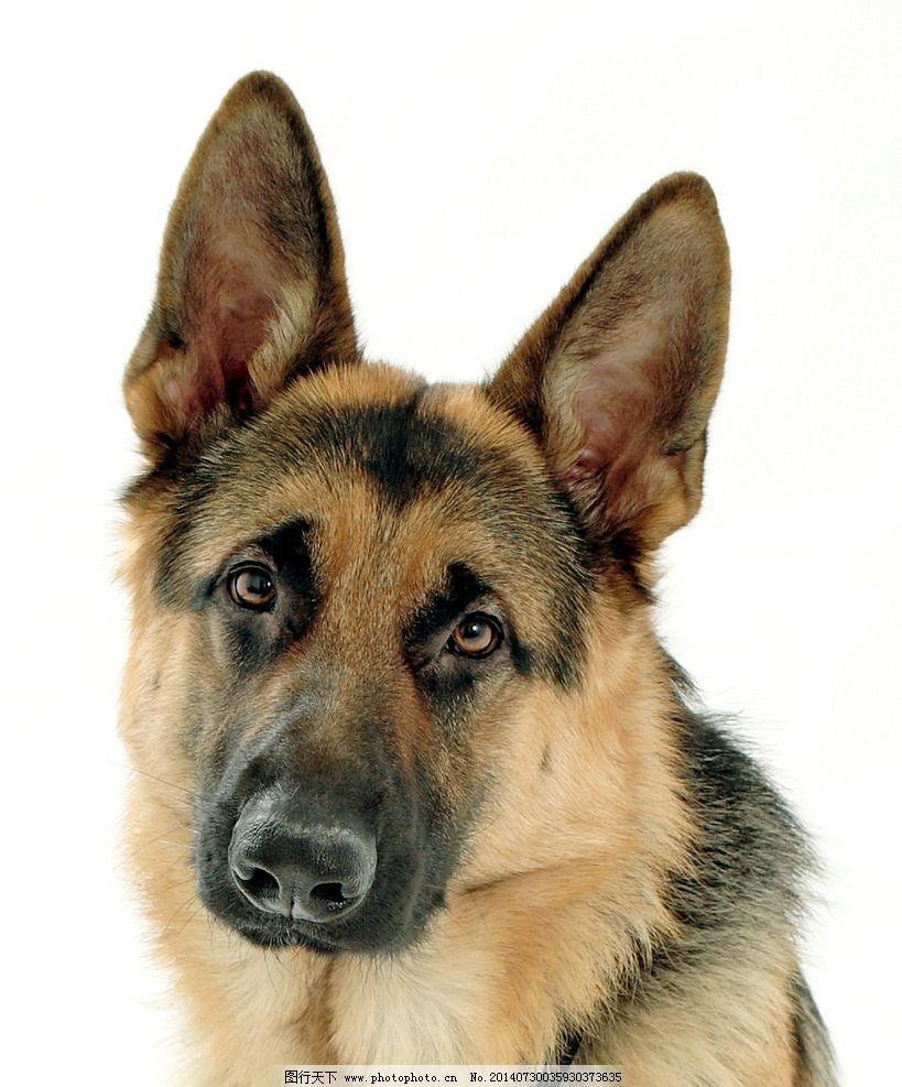 德国黑背犬图片图片