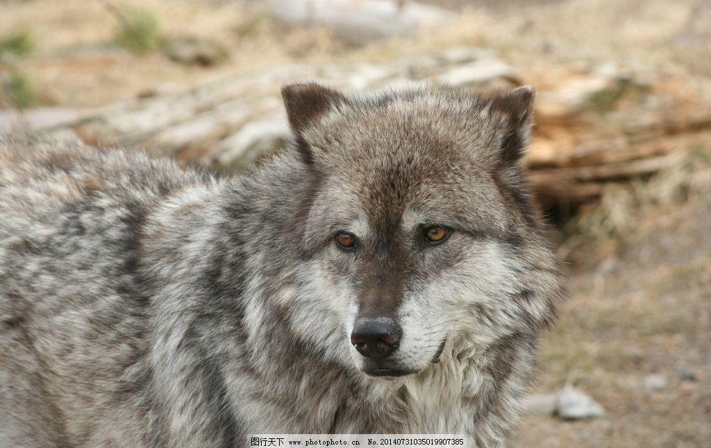 灰狼 狼 大灰狼 野生动物 生物世界 摄影 300dpi jpg 72dpi