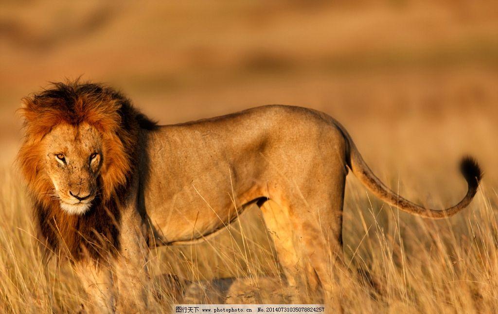 狮子 猫科动物 食肉动物 野外 强壮 哺乳动物 野生动物 生物世界 摄影