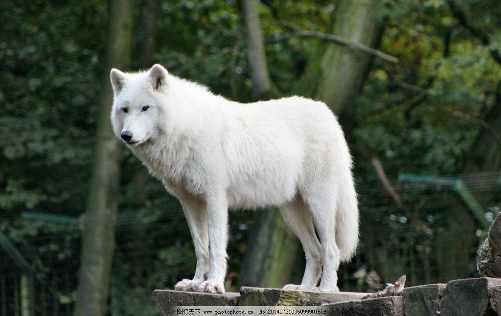 白狼 大尾巴狼 秋天 山林 野生动物 生物世界 摄影图片