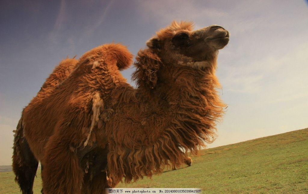 骆驼 远眺草原 自然风景 旅游景观 旅游拍摄 野生动物 生物世界