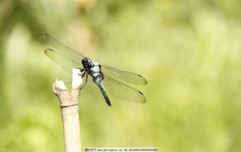 蜻蜓 昆虫 动物 黑白蜻蜓 黑蜻蜓 生物世界 摄影 72dpi jpg