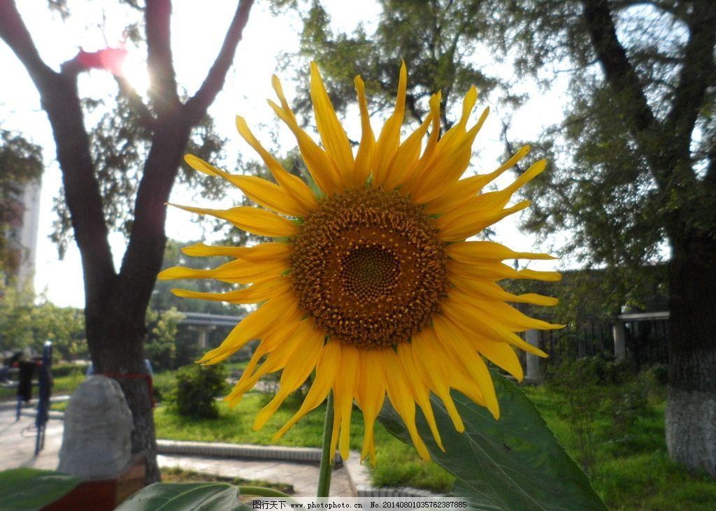 向日葵花 葵花 向日葵