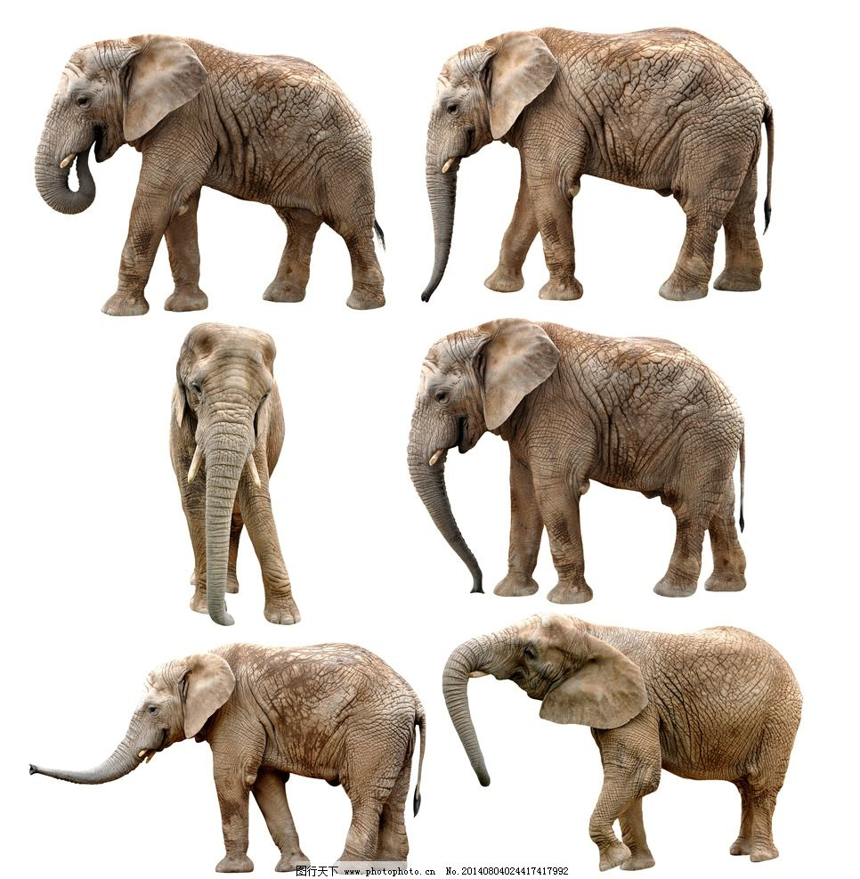 大象 动物 濒危野生动物 哺乳动物 物种保护 野生动物 生物世界 设计