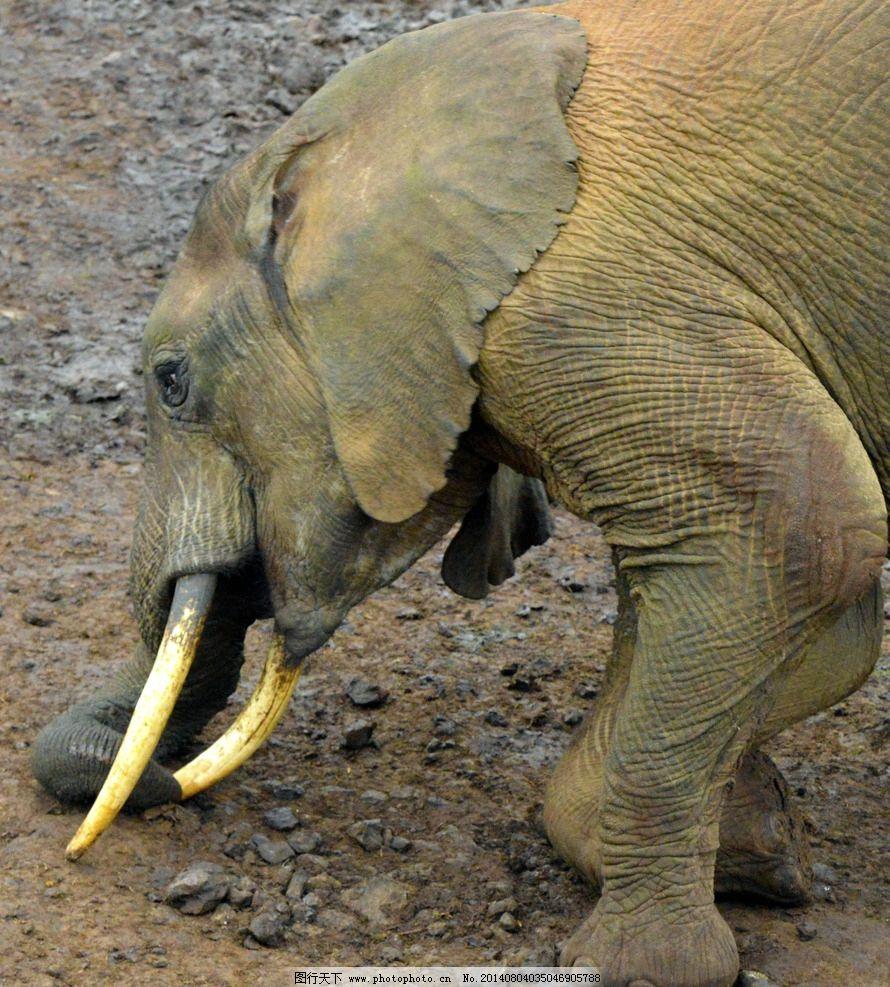 大象掏鼻子 肯尼亚 阿伯代尔 野生动物 保护区 大象 掏鼻子 肯尼亚
