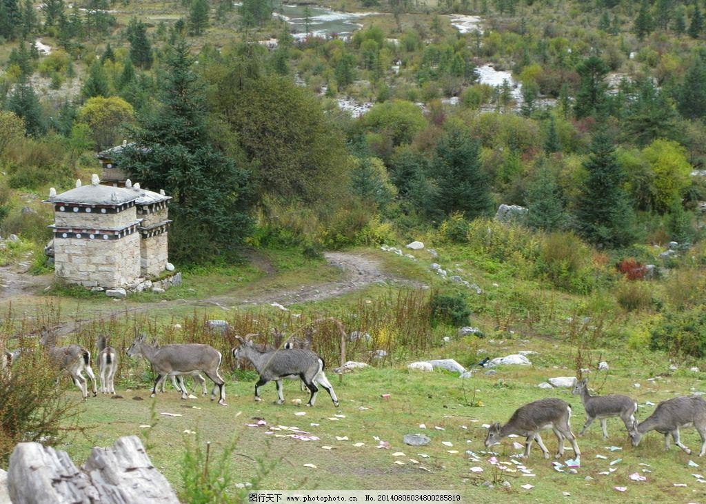 羊 四川 格聂 动物 树森 草地 四川格聂 自然风景 自然景观 摄影 180d