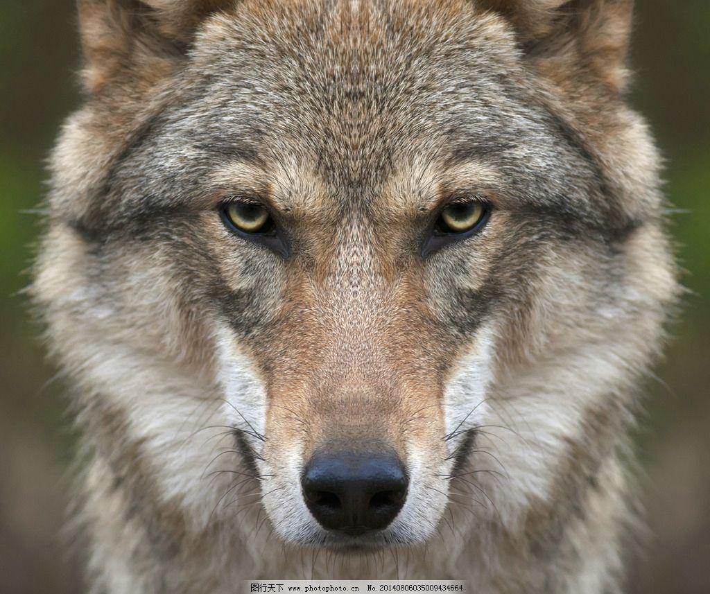 野狼 狼 苍狼 动物 动物世界 狼狗 野生动物 哺乳动物 生物世界 摄影