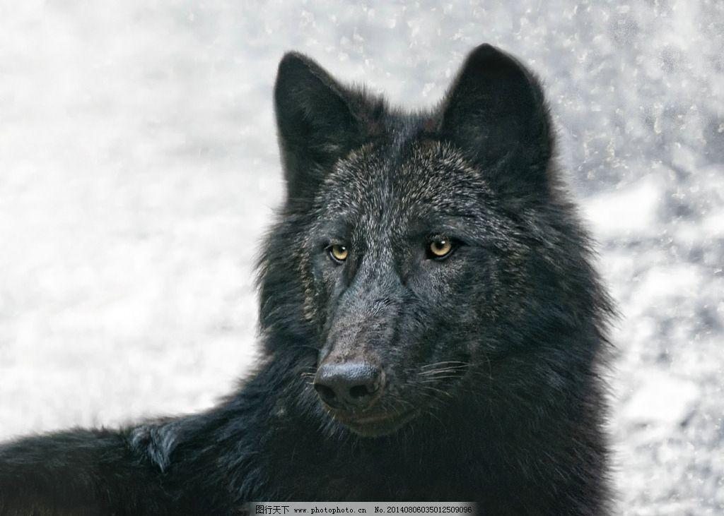 野狼 苍狼 动物 动物世界 野生动物 哺乳动物 生物世界 摄影
