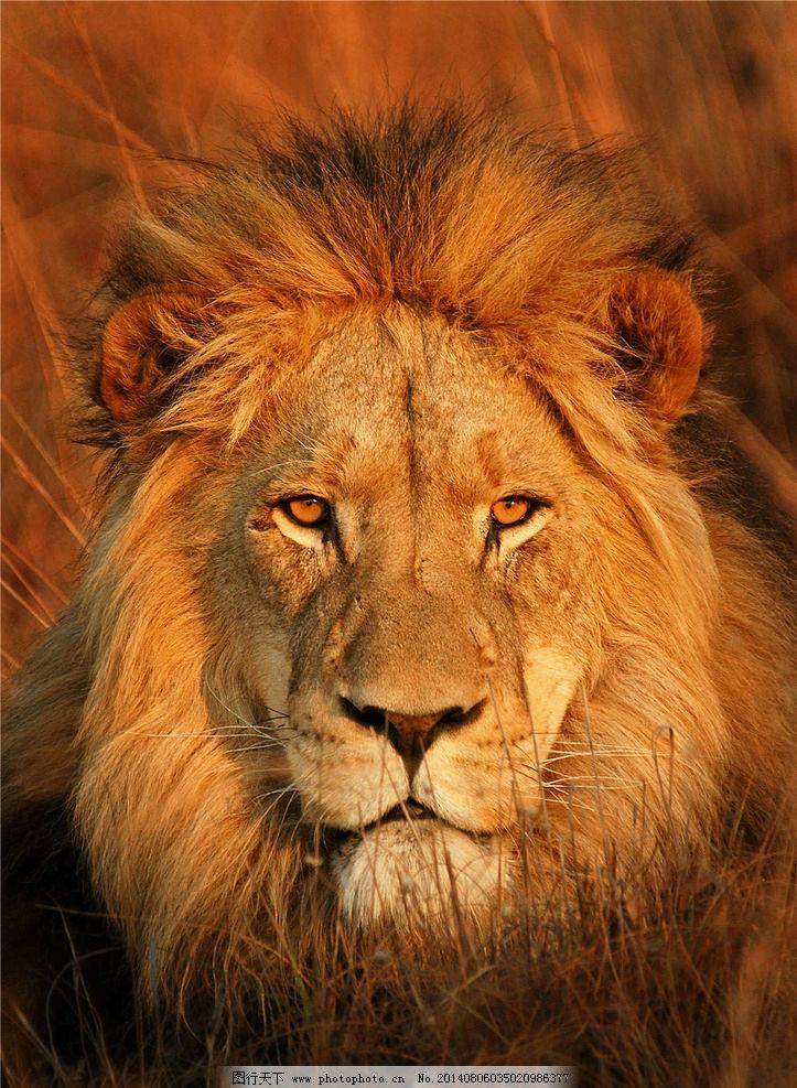 狮子 雄狮 狮子王 森林之王 公狮子 野生动物 生物世界 摄影