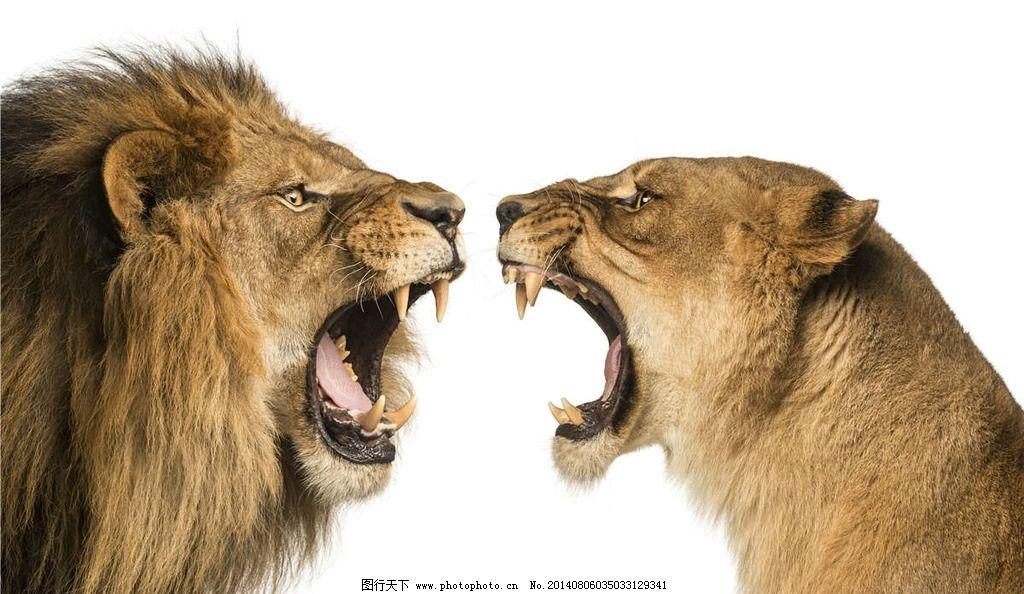 狮子 雄狮 狮子王 森林之王 lion 公狮子 野生动物 生物世界 摄影 300