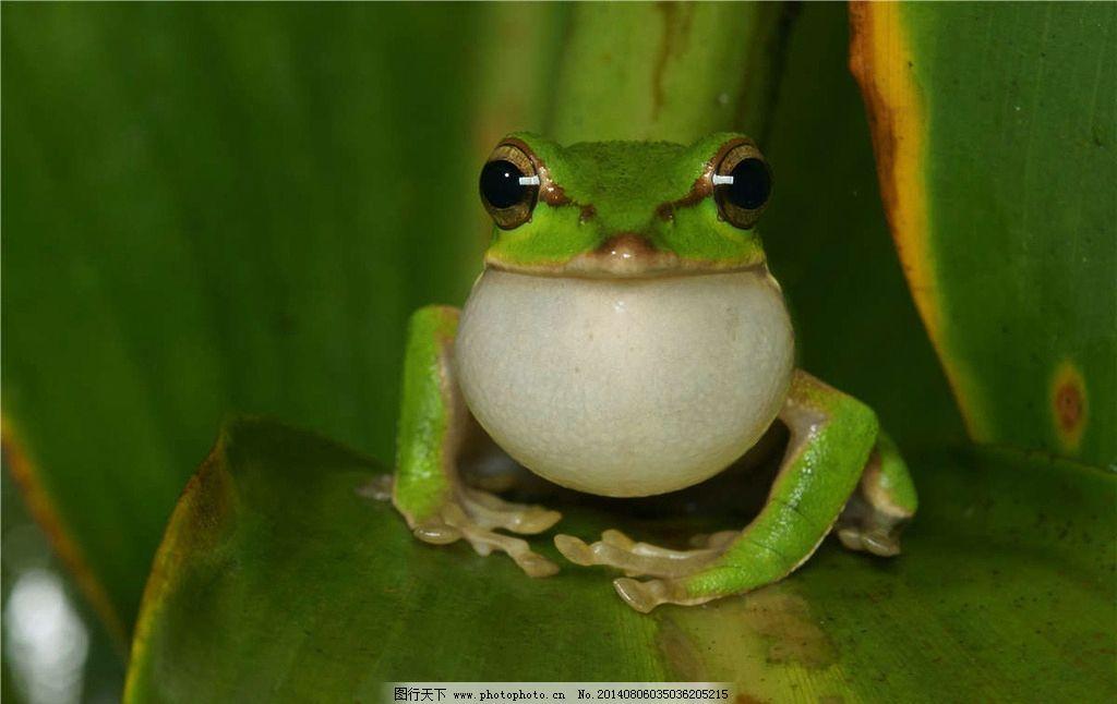 青蛙 蛤蟆 绿青蛙 两栖动物 树蛙 野生动物 生物世界 摄影 300dpi jpg
